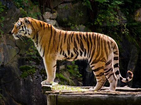 عکس زیبا ببر تنها در حیات وحش lonely tiger picture