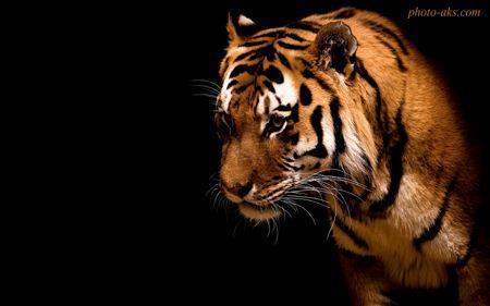 عکس و پوستر ببر tiger wallpaper