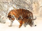 والپیپر زیبای ببرها زمستان برفی