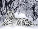ببر بنگال سفید در برف زمستان