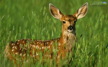 عکس بسیار زیبای آهو deer in nature