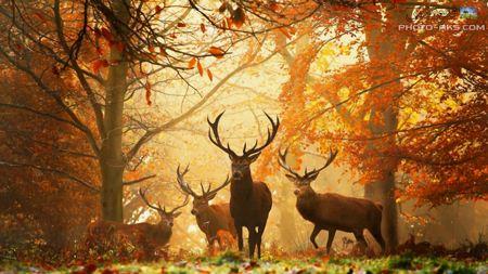 عکس گوزن ها در جنگل پائیزی deers in autumn