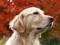 والپیپر سگ متفکر در پاییز
