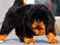 سگ تبتی ماستیف