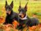 سگ نژاد دوبرمن پینچر