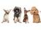 نژاد های مختلف سگ ها