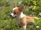 توله سگ پاپی دوست داشتنی
