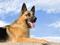 والپیپر سگ پلیس ژرمن شفرد