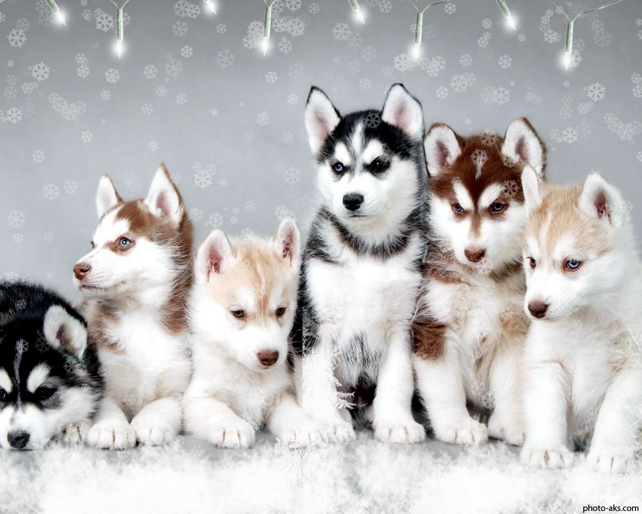 http://pic.photo-aks.com/photo/animals/dogs/large/Snow-Dogs-Cute-Huskies.jpg