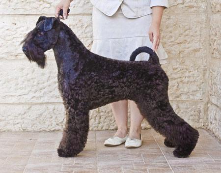 سگ کری بلویی تریر dog kerry blue terrier