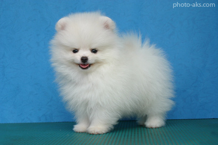 سگ پامرانین pomeranian white dog