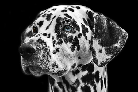 عکس صورت سگ خالخالی dog face
