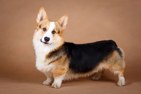 سگ نژاد پمبروک ولش کرگی corgi dogs wallpaper