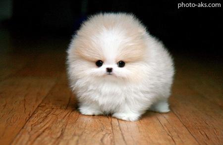 سگ کوچولو سفید پشمالو cute funny white dog