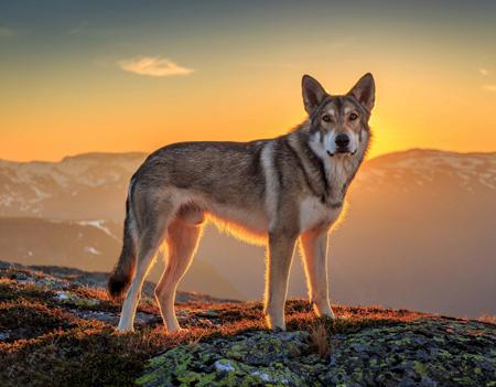 عکس سگ وحشی بالای کوه dog sunset mountains top