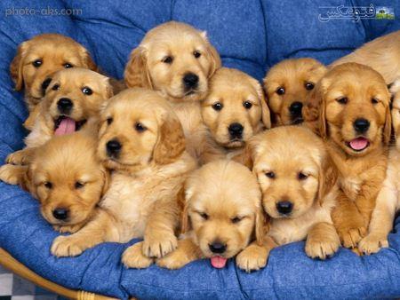 عکس سگ های طلائی aks sag talayi naz