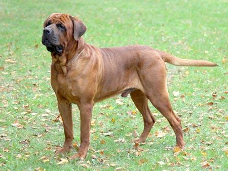 خطرناکترین سگ دنیا tosa inu dog