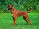 عکس سگ نگهبان باکسر آلمانی