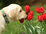 عکس زیبای سگ و گلهای لاله