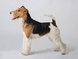 سگ فاکس تریر موصاف