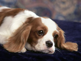 سگ نژاد کوکر اسپانیل