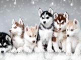 والپیپر سگ های سورتمه