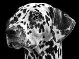 عکس صورت سگ خالخالی