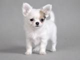 سگ سفید کوچولو چی واوا