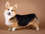 سگ نژاد پمبروک ولش کرگی