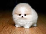 سگ کوچولو سفید پشمالو