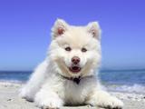 سگ سفید پشمالو