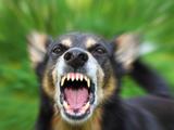 عکس پارس سگ هار وحشی