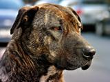 عکس سگ نزاد امریکایی غمگین