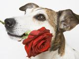 عکس سگ با شاخه گل
