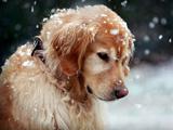عکس سگ زیر برف زمستانی