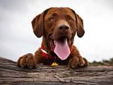 عکس سگ قهوه ای خوشحال