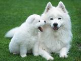 عکس سگ های سفید هاسکی