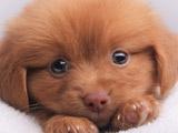 عکس سگ پاپی حنایی ناز