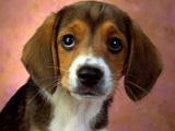 عکس سگ نژاد بیگل قهوه ای