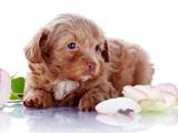 عکس توله سگ بامزه و گل رز