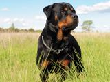 عکس سگ نگهبان روتوایلر