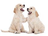 عکس توله سگ های سفید بانمک