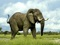 فیل افریقای