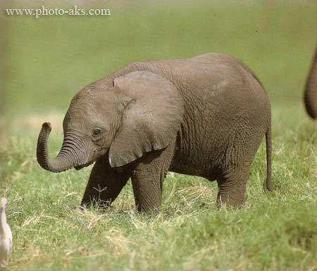 عکس بچه فیل baby elephant