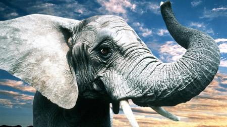 عکس خرطوم و گوش فیل بزرگ gray big elephant