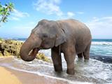 فیل آسیایی در ساحل