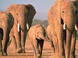 خانواده فیل های آفریقایی