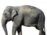 عکس فیل بزرگ آسیایی