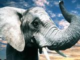 عکس خرطوم و گوش فیل بزرگ