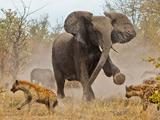 عکس درگیری فیل با کفتارها